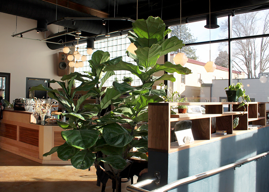 An enormous fiddle leaf fills most of the frame - behind it sun shines through the glass-block wall, industrial-minimal light fixture hang from the ceiling